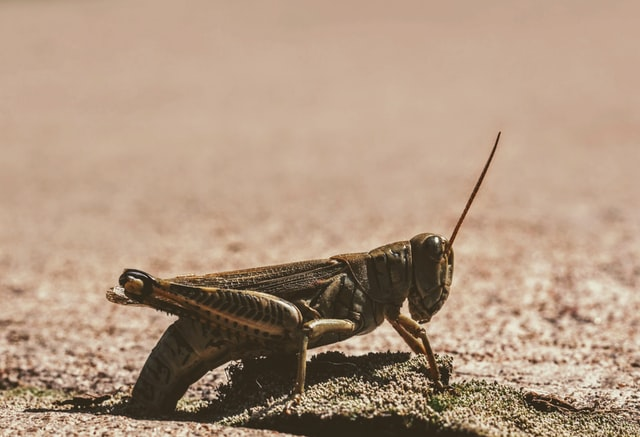 Locust Swarms in 2020. TOP 4 Facts You Must Know!